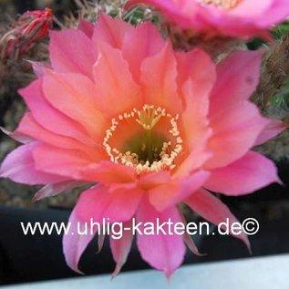 Echinopsis-Hybr. Sabine Send