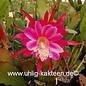 Epiphyllum-Hybr. Morgenröte
