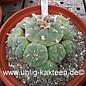 Lophophora williamsii XXL 2