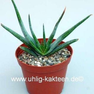 Aloe compressa      CITES, not outside EU