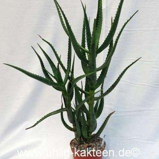 Aloe ngobitensis