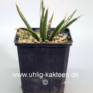 Agave toumeyana ssp. bella       (dw)