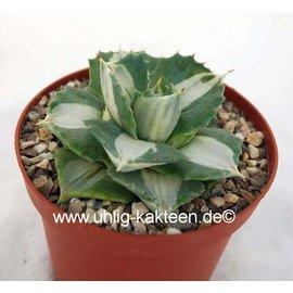 Agave potatorum  v. verschaffeltii cv. Shoji Rajin Mediopicta-Alba