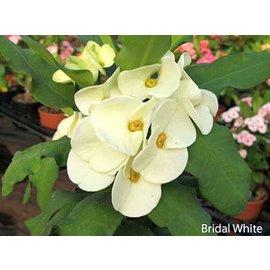 Euphorbia milii Grandiflora-Thai-Hybr. Blanc de mariée