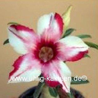 Adenium obesum cv. Cellona   gepfr.
