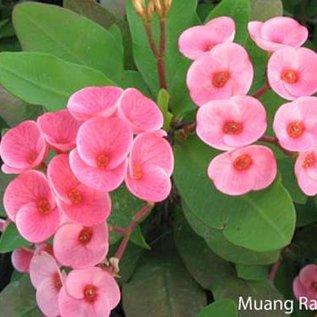Euphorbia milii Grandiflora-Thai-Hybr. Muang Rassami