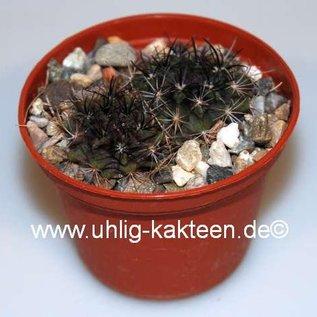 Neochilenia paucicostata  FK 108