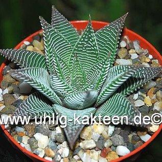 Haworthia limifolia  cv. striata