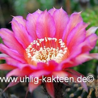 Echinopsis-Hybr. Mary Patrizia (A)