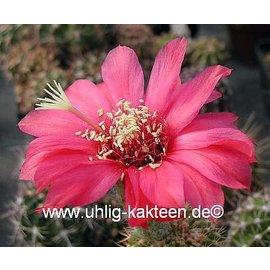 Echinopsis-Hybr. `Paracas` Serie 308