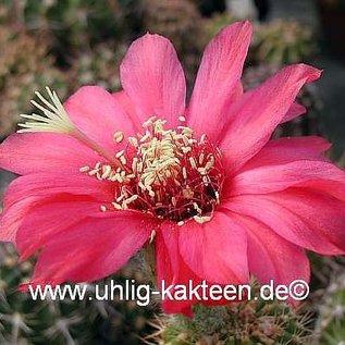 Echinopsis-Hybr. Paracas  Serie 308