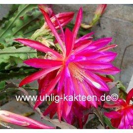 Epiphyllum-Hybr. Irette