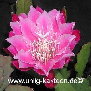 Epiphyllum-Hybr. Bester von Allen