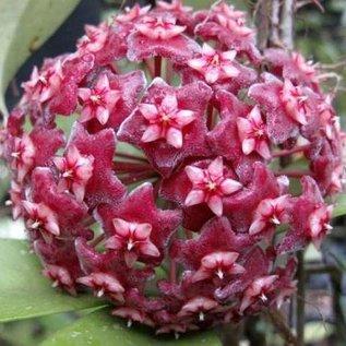 Hoya pubicalyx  cv. rosa Blüte