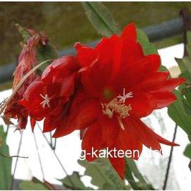 Epiphyllum-Hybr. Cajun Beauty