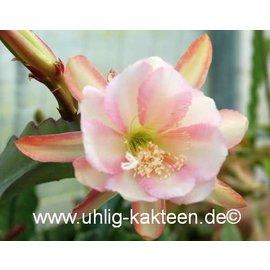 Epiphyllum-Hybr. `Lilly Daché`