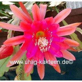 Epiphyllum-Hybr. Fiesta romana