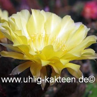 Echinopsis-Hybr. Maas 108 x Canary