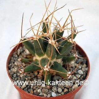 Ferobergia cv. Violet F3 Leuchtenbergia dominant PRIFOR / PRIFOR X PRIFOR / PRIFOR