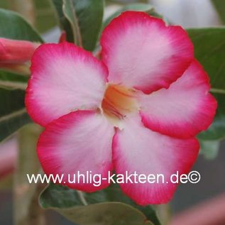 Adenium obesum with seasonal backcut