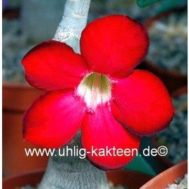 Adenium obesum cv. Rouge profond XL