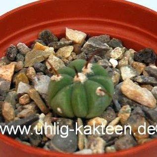 Echinocactus horizonthalonius ssp. subikii CH 485 E of Ejido La Soledad, NL