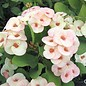 Euphorbia milii Grandiflora-Thai-Hybr. Candy