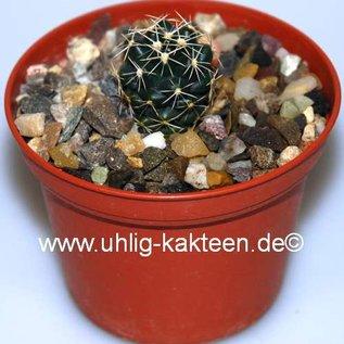 Coryphantha pygnacantha  KS 1266 Okambra, Mex.