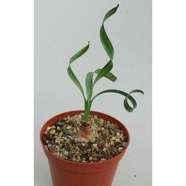 Cyrtanthus spiralis   Südafrika