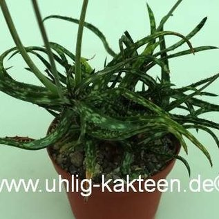 Aloe bakeri   Madagaskar   CITES, not outside EU
