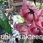 Hoya archboldiana cv. Pink flower