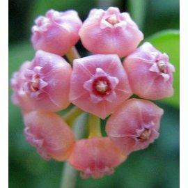 Hoya heuschkeliana cv. Pink Flower