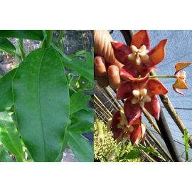 Hoya imperialis  cv. Red Big Flower