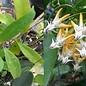 Hoya multiflora   Javanica Thai