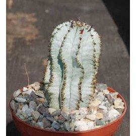 Euphorbia polygona-Hybr.  Superwhite
