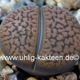 Lithops hookeri v. marginata  red-brown form C 089