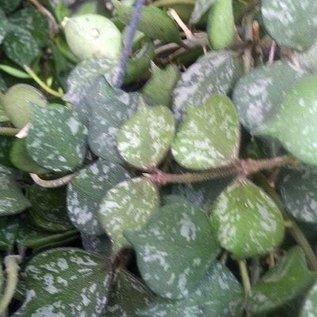 Hoya curtisii