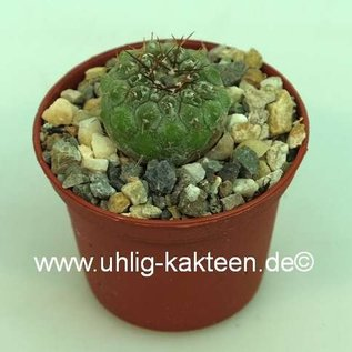 Copiapoa melanohystrix  WK 810 Chile