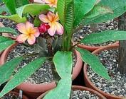 Plumeria-Hybr.
