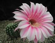 Echinopsis-Hybr.