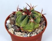Ferofossulocactus