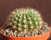 Helianthocereus