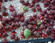 Succulent Seeds