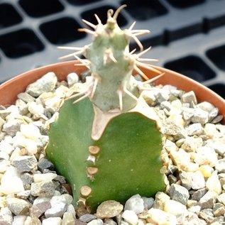 Euphorbia ponderosa   Somalia gepfr.