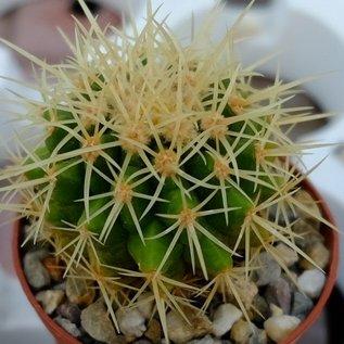 Echinocactus grusonii asterium