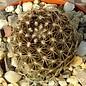 Copiapoa alticostata v. minima KK 016 Freifina, 400-500 m, Chile