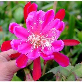 Epiphyllum-Hybr. `Malchos Beauty`