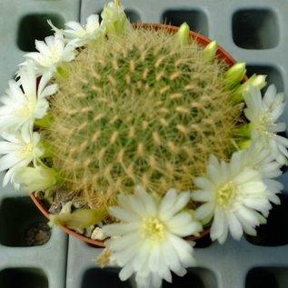Sulcorebutia mentosa HS 048 cv. flavispina Aiquile - Mizque, 2400 m, von weißblühenden Exemplaren