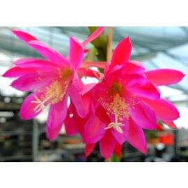 Epiphyllum-Hybr. Leos Zauber