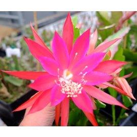 Epiphyllum-Hybr. Golino